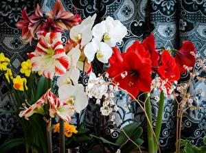 Картинки Амариллис Орхидеи