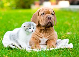 Фото Собаки Кошки Вдвоем Щенок Котята Бордоский дог Трава животное
