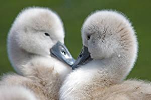 Картинка Гуси Детеныши Птица 2 Животные