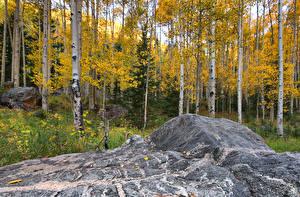 Обои США Леса Осень Деревья Березы Aspen Colorado Природа фото