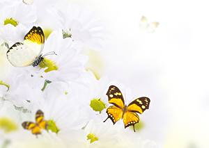 Картинка Хризантемы Бабочки Насекомые Цветы Животные