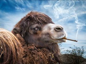 Фотография Верблюды Смотрит Дым Сигарета Юмор Животные