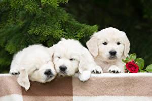 Фотография Собаки Розы Золотистый ретривер Щенков Трое 3 Ретривер Животные