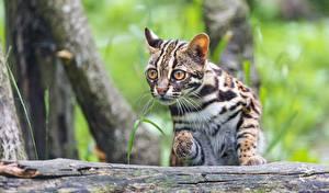 Фотография Кошки Бенгальская кошка Взгляд Prionailurus bengalensis