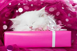 Фото Коты Котята Белый Подарки Сон Животные