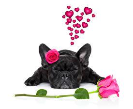 Фото День всех влюблённых Собаки Розы Бульдог Черный Спящий Сердце Животные