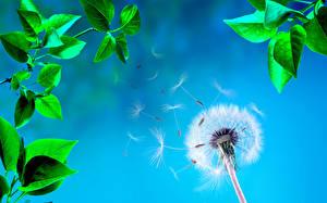 Фото Одуванчики Крупным планом Лист цветок