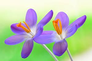 Фотографии Крокусы Крупным планом Фиолетовый Двое цветок