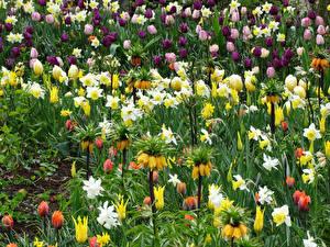 Фотография Рябчик Нарциссы Тюльпаны Много Цветы