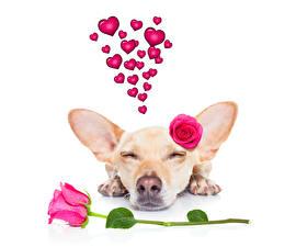 Картинка Собаки Розы День всех влюблённых Чихуахуа Розовый Сердце Спящий Животные