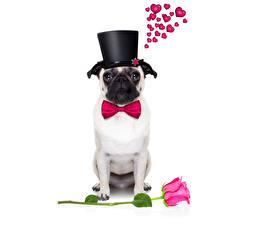 Картинка День всех влюблённых Собаки Розы Бульдог Сердечко Шляпа Бантик Животные