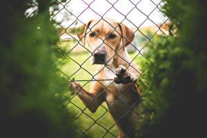 Картинки Собака Ретривер Забора Животные