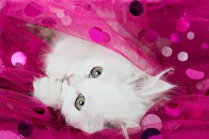 Фотографии Кот Котята Белая Взгляд Животные