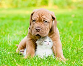 Фото Собака Кошки Бордоский дог Котята Траве Двое Животные