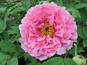 Фотографии Пионы Крупным планом Розовых Chinese tree peony цветок