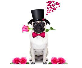 Фотографии День святого Валентина Собаки Розы Бульдог Шляпа Сердечко Бантик Животные
