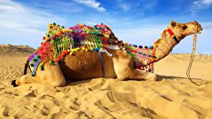 Фотографии Верблюды Песок Животные