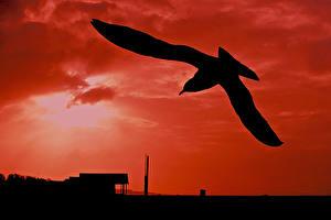 Картинки Птицы Чай Чайка Силуэт Животные