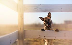 Обои Собака Овчарки Забор животное