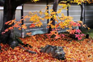 Фото Осень Япония Листья Ветки Клён Природа