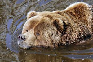 Фотографии Медведь Гризли Воде Плывет Животные