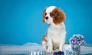 Картинки Собаки Спаниель Щенок Кинг чарльз спаниель