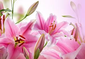 Фото Лилии Вблизи Розовых Цветы