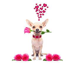 Картинки День святого Валентина Собаки Розы Чихуахуа Сердечко Розовый Животные Цветы