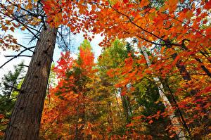 Обои Леса Осень Ствол дерева Деревья Вид снизу Природа фото