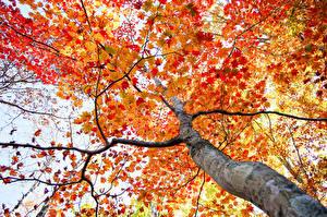 Обои Осень Ветки Деревья Ствол дерева Вид снизу Природа фото