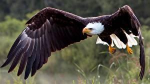 Картинки Птица Ястреб Белоголовый орлан