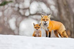 Фото Лисица Детеныши Снега Два Животные