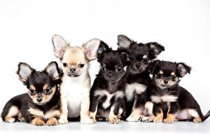 Картинки Собаки Щенки Чихуахуа животное