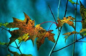 Картинки Крупным планом Осень Листва Клён Природа