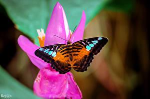 Фото Бабочки Насекомые Крупным планом