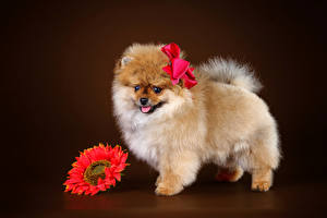 Фотография Собаки Герберы Шпицев Бантики Животные