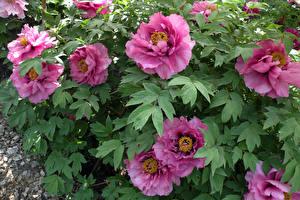 Фото Пионы Розовый Лист Цветы