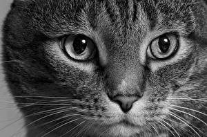Картинка Кот Глаза Взгляд Усы Вибриссы Морда Носа животное