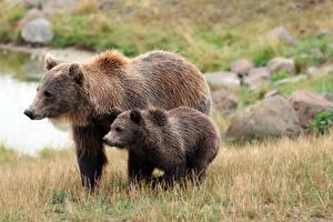 Обои Медведи Гризли Детеныши 2 Траве животное
