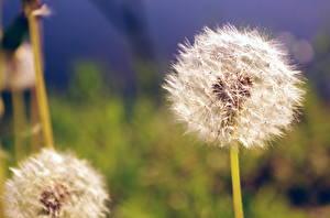 Фотографии Одуванчики Крупным планом цветок