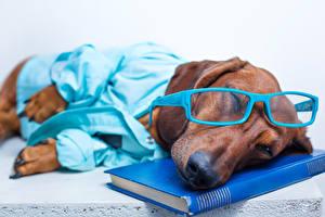 Картинка Собаки Такса Очки Книга Спящий