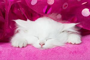 Фотография Кошка Котята Белый Спит Животные