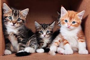 Обои Кошки Котята Трое 3 Взгляд Животные