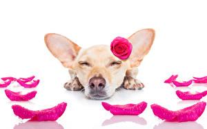 Обои для рабочего стола Собака Розы Чихуахуа Спящий Лепестки Животные