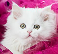 Фото Коты Глаза Котенок Белая Животные