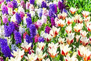 Картинка Гиацинты Тюльпаны Вблизи Цветы
