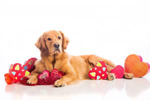 Фото Собаки День всех влюблённых Ретривер Сердце Взгляд Животные