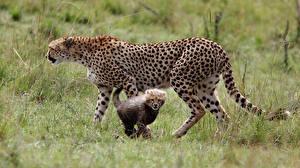 Фото Гепарды Детеныши Большие кошки