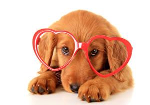 Фотографии Собаки Ретривер Очки Сердце Животные