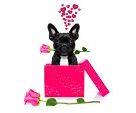 Фото День всех влюблённых Собаки Розы Бульдог Черный Сердце Коробка Животные